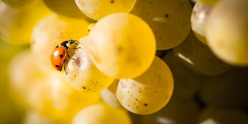 """Résultat de recherche d'images pour """"cépage de Bourgogne"""""""